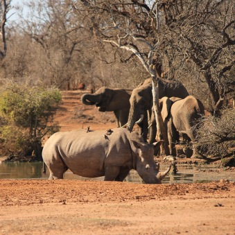 Rhino and elephants at a watering hole in Hlane Swaziland