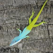 Blue and green Allison's anole lizard Cuba