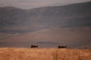 Antelope with Malolotja backdrop