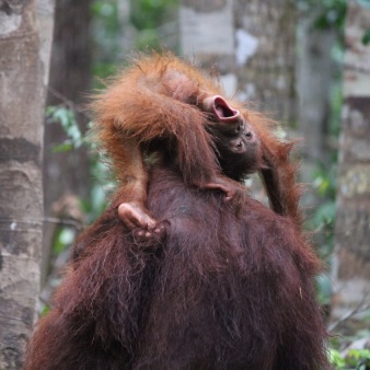 Baby orang utan playing on his mother's back