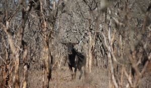 Blue wildebeest looking through the bushes, Hlane Royal National Park