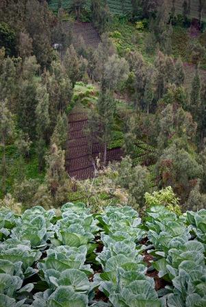Steep cabbage field near Cemoro Lawang East Java