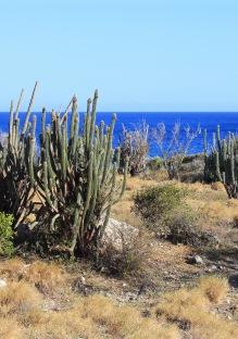 Cacti by the sea Cuba