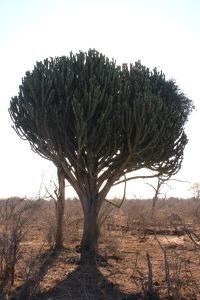 Cactus tree in Swaziland