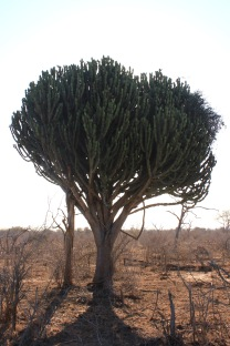 Cactus tree in Swaziland