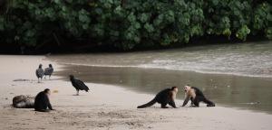 Capuchin monkeys and vultures on a beach in Parque Nacional Coiba