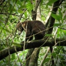 Coati in a tree in Parque Soberania Panama