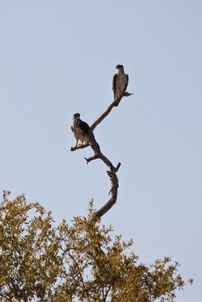 Eagles in Limpopo National Park