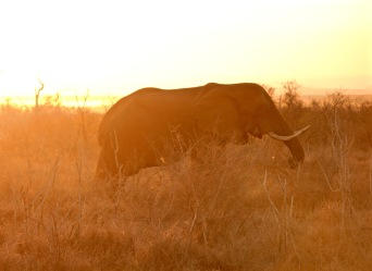 Elephant with sunset view in Hlane