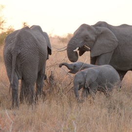 Elephants with calves in Kruger National Park