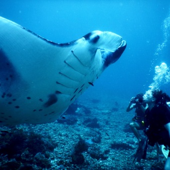 Manta ray getting very close to divers