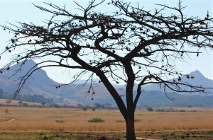 Tree in front of a view over Ezulwini Valley