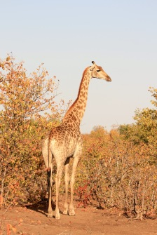 Giraffe in Limpopo National Park