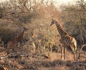 Giraffes between the trees in Hlane Royal National Park