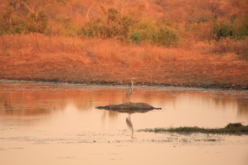 Goliath heron in Limpopo National Park