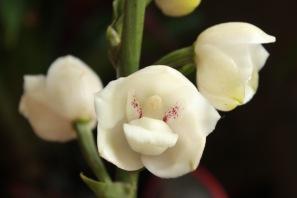 Holy Spirit orchid Panama