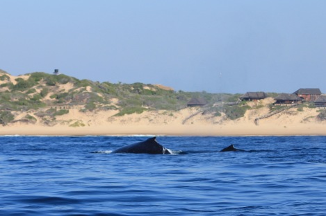 Humpback whales by Tofo beach Mozambique