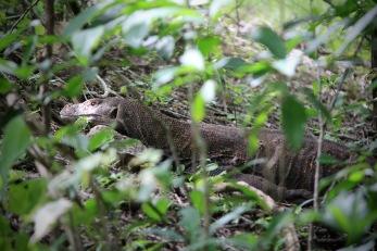 Komodo dragon hidden in the bush on Rinca island