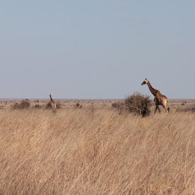 Kruger landscape with giraffes