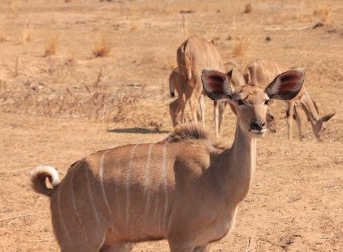 Female kudu, Kruger park