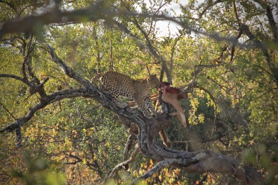 Leopard in a tree eating an impala in Kruger National Park