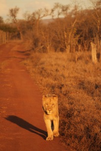 Lion walking on the road during a sunset game drive in Hlane