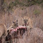 Lions eating a giraffe