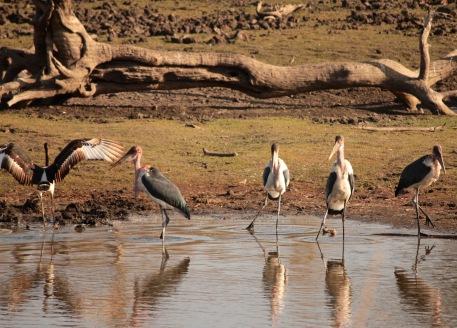 Marabou storks fishing in a line, Kruger Park