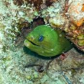 Moray eel, diving in Playa los Cocos Cuba