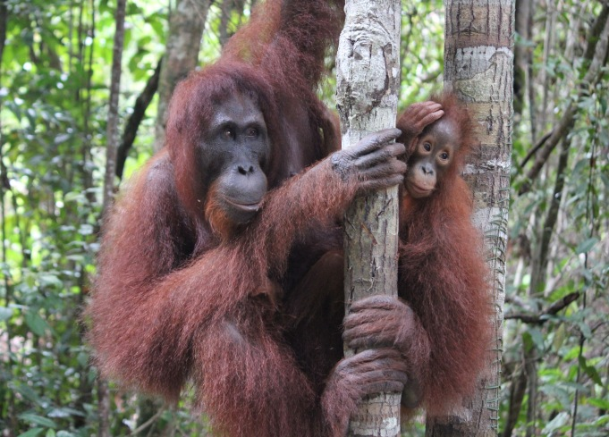 Orang utan mother and baby