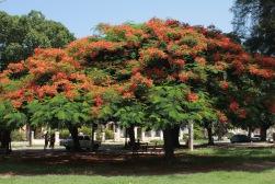 Acacia tree in a park in Vedado Havana