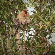 Proboscis monkey in a tree in Tanjung Puting