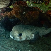 Pufferfish diving in Cuba