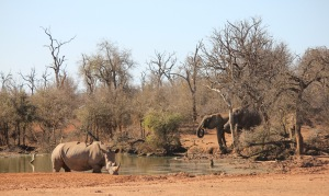 Hlane rest camp watering hole with rhino and elephants
