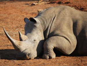 Rhino closeup Hlane Royal National Park