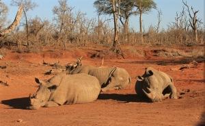 Three rhinos resting in the sun