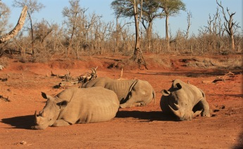 Three rhinos resting in the sun