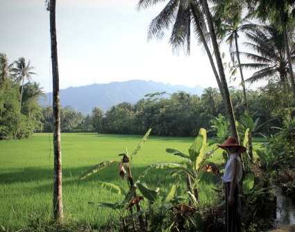 Rice fields near Borobudur