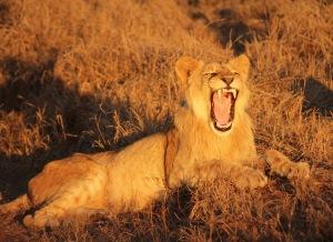 Lion yawning Hlane Royal National Park