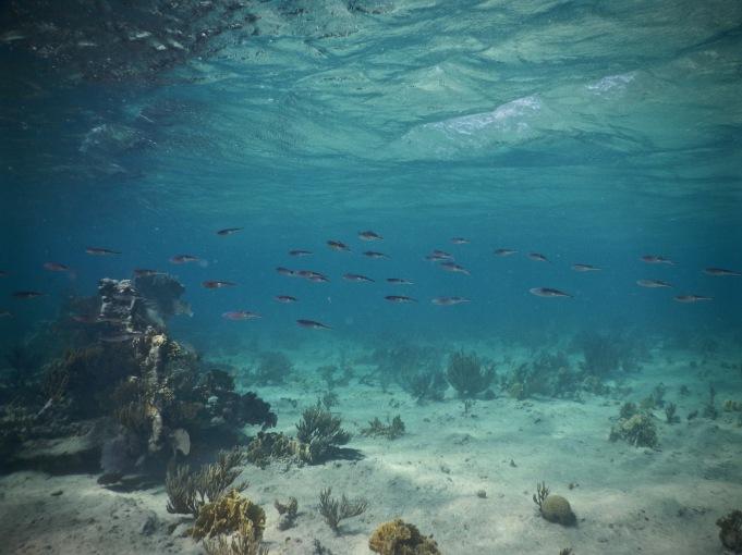 School of squid diving in Playa los Cocos Cuba
