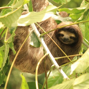 Sloth in a tree in Parque Soberania Panama