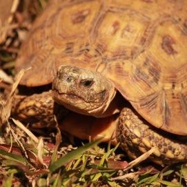 Tortoise in Malolotja Nature Reserve