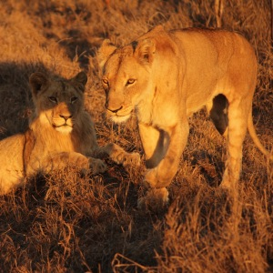 Two lions in Hlane Royal National Park