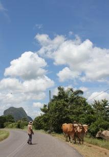Vaquero and cows on a road in Vinales Valley