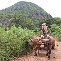 Farmers on a bull-drawn cart in Vinales
