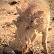 Browsing warthog Kruger