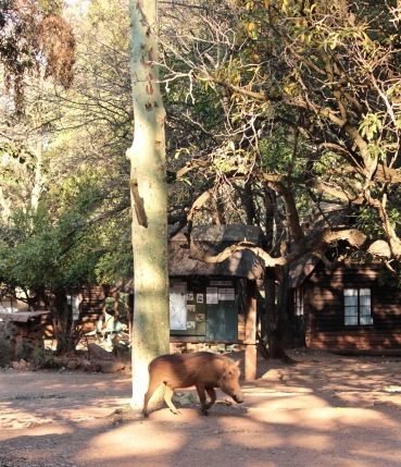 Warthog wandering through Mlilwane Rest Camp