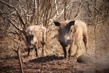 Warthogs in Hlane Royal National Park