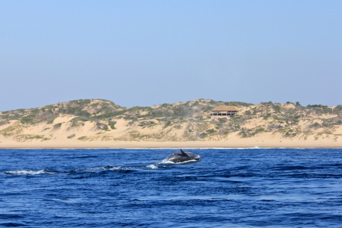Whale breaching in front of Tofo coast