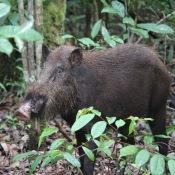 Wild boar in Tanjung Putting Kalimantan